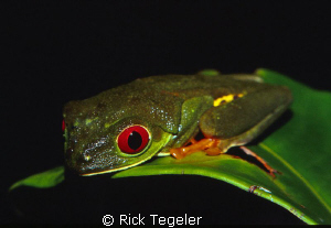 Red eye tree frog.  Taken at midnight in the rain forest ... by Rick Tegeler