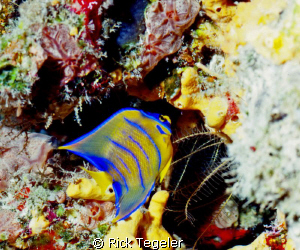 Juvenile Queen Angelfish.... relatively rare and not ofte... by Rick Tegeler