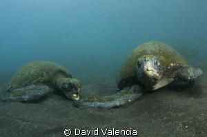 This bay on Isabella Is. was crawling with green sea turt... by David Valencia