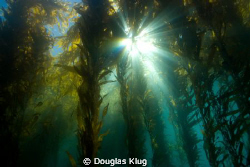 Kelp Cathedral.  A sunburst through the majestic kelp for... by Douglas Klug