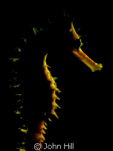 A red and white Thorny Seahorse with soft lighting from m... by John Hill