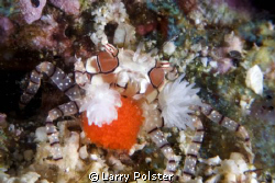Boxer crab with eggs by Larry Polster