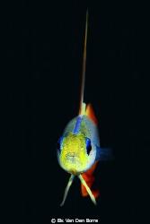 Firefish by Els Van Den Borre