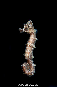 I caught this sea horse falling from sargassum floating o... by David Valencia