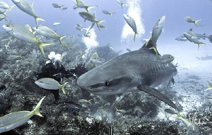 A meeting with a Tiger Shark at Ginormous. They sure curi... by Steven Anderson
