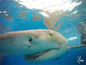 Lemon Sharks at the surface and on my camera! Loving Tige... by Steven Anderson