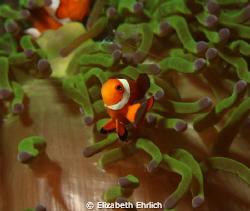 Clownfish by Elizabeth Ehrlich