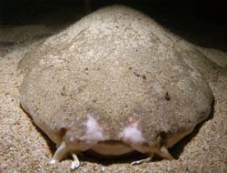 Angel Shark. Lies in wait for unsuspecting prey. Housed N... by Grant Kennedy