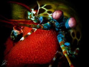 Mantis Shrimp with Egg Clutch by Stephen Holinski
