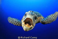 This Hawksbill Turtle swam right up to me and my companio... by Richard Carey