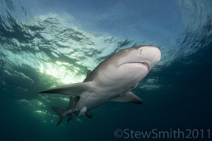 Lemon Shark by Stew Smith