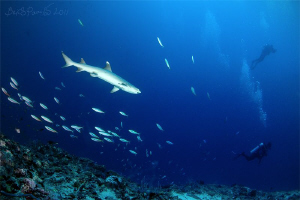 Whitetip Reef Shark watch over Divers in Bathala Maaga Ka... by Boris Pamikov
