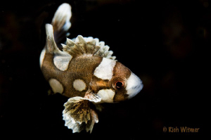 Juvenile Sweetlips.  105mm by Richard Witmer
