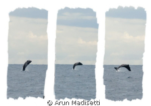 trying to fly. Sperm whale calf flexes its wings by Arun Madisetti