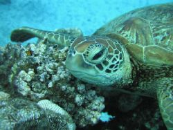 Rarotongan Turtle. Photographed while freediving outside ... by Quentin Long