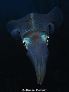 Atlantic Brief Squid, Bonaire. by Abimael Márquez