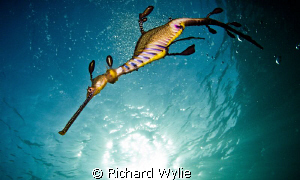Female weedy seadragon (Phyllopteryx teaniolatus) photogr... by Richard Wylie