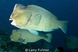 Bump head parrot fish were swarming, about 25 of them, no... by Larry Polster
