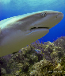 'Have you seen my spare set of Teeth?' a curious Reef Sha... by Gary Curtis
