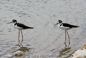 Shorebird Duo by Lisa Hinderlider