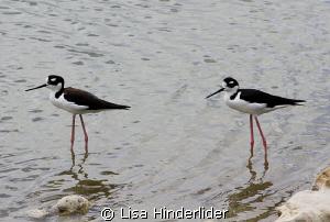 Shorebird Duo by Lisa Hinderlider