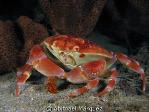 Batwing Coral Crab, nigth dive. by Abimael Márquez