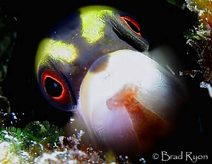The Mimic:  Wrasse Blenny (Hemiemblemaria simulus) by Brad Ryon