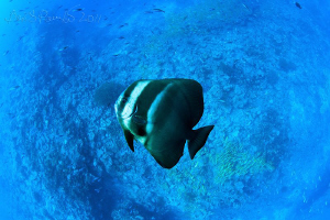 maldivian batfish swims sideways over reef with blue stri... by Boris Pamikov