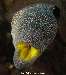 Yellow mouth moray. Also named jewelled or starry moray. ... by Mike Dickson
