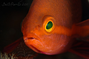 young orange fairy basslet