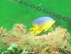 This is a damselfish I photographed off the coast of Dest... by Jd Zugg