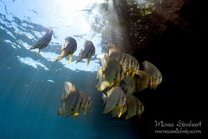 Batfish playing in the sunbeams around Mike's point close... by Mona Dienhart