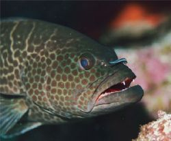Tiger Grouper with Goby. Bonaire. by Jacques Miller
