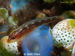 Goby on Tunicates - Tulamben Bali Olympus XZ-1 + ucl 04 ... by Andy Chan