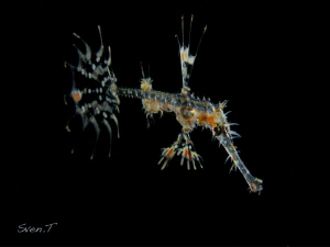 Juvenile ghost pipe fish.. by Sven Tramaux