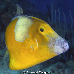 Whitespotted Filefish by Abimael Márquez