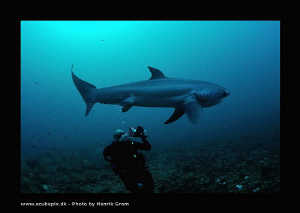 Diver Filming Thresher Shark at Monad Shoals by Henrik Gram Rasmussen