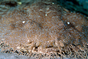 Close up and personal with my first wobbegong. Taken with... by Mona Dienhart