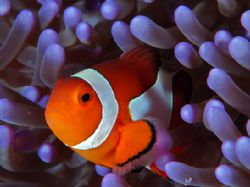 It's about the color! Amphiprion percula with purple Stic... by Beverly Speed
