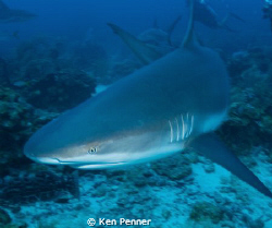 Caribbean Reef Shark taken in Roatan, Honduras by Ken Penner