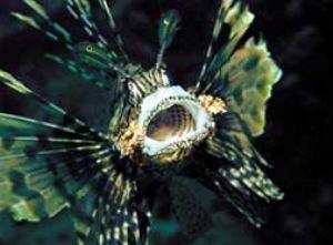 Lionfish, Red Sea, Camerasystem; Mamyia 645 in Hugyfothou... by Walter Lehmann