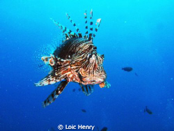 Lion fish by Loic Henry