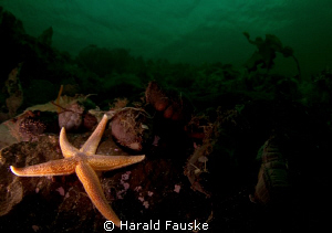 colourful seastar in the dark fjord by Harald Fauske