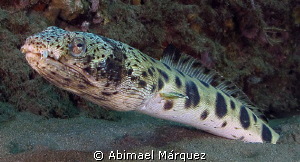 Spotted Snake Eel by Abimael Márquez
