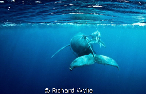 Mother and calf pair taken in vava'u, Tonga - this timid ... by Richard Wylie