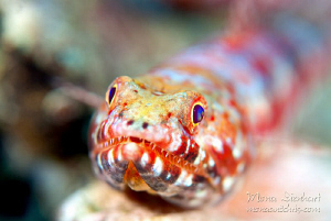 a patient lizardfish showing of his impressive teeth :-) by Mona Dienhart