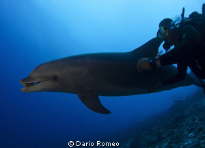 Dolphin and diver (Tursiops truncatus)