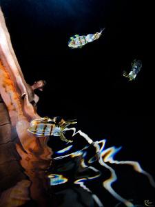 """Lightning Squids V-3"" 3 juvenile squids ( one of them i... by Rico Besserdich"
