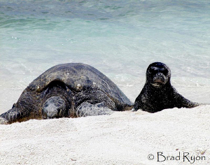 Hawaiian Monk seal hanging out with a Green turtle by Brad Ryon
