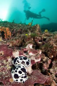 Dotted sea-slug and diver by Mathieu Foulquié
